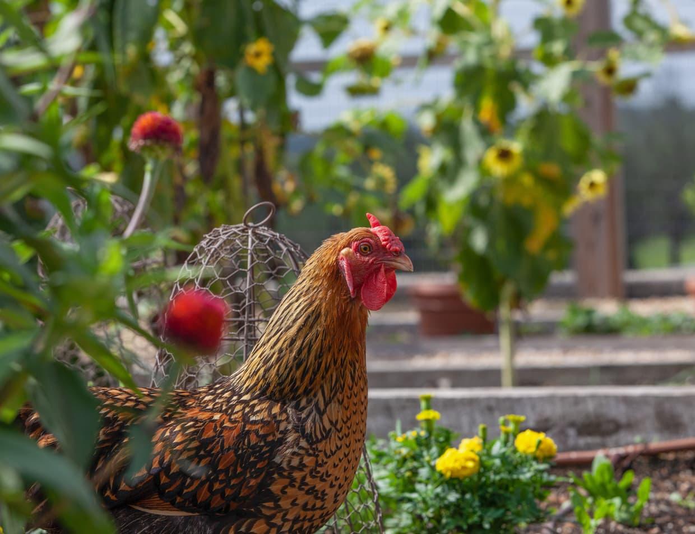 Chicken in a garden at Thorn Hill Inn